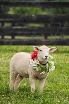 Spring sheep...
