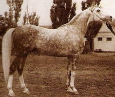 *Salon (Negatiw x Sonata), 1959 Russian Arabian stallion. Sire of *Muscat, *Moment, Nefisa, Podsnejnik, Ponomarev, Solstice, and many other greats.