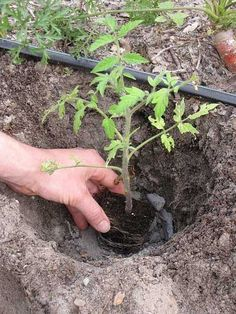 Use wood ash in your garden to alter and amend your garden soil. It can do magics you are not aware of.