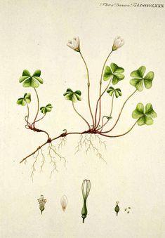 oxalis acetosella, Flora Danica
