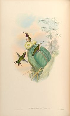 2090. Beautiful Sheartail (Calothorax pulcher) | found in southern-central Mexico in subtropical or tropical high-altitude shrubland