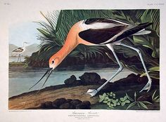 """American Avocet"" John James Audubon  ""The Birds of America"" Amsterdam Edition"