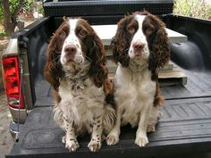 Field and Bench Springers