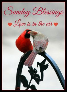 Sunday Pretty Birds, Love Birds, Beautiful Birds, Animals And Pets, Cute Animals, Cardinal Birds, Cardinal Meaning, Bird Pictures, Colorful Birds