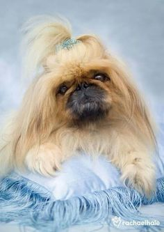 Jellybean (Pekingese) - Jellybean is a real softy. (pic by Rachael Hale) Pet Dogs, Dogs And Puppies, Dog Cat, Doggies, Baby Animals, Cute Animals, Pekingese Puppies, Fu Dog, Cute Animal Pictures