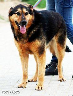 Norton, bezproblemowy, młody pies w typie OWCZARKA NIEMIECKIEGO
