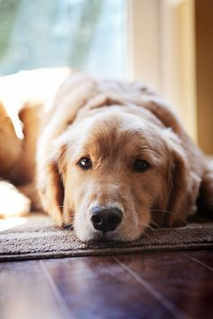 typical look from a golden retriever - not sure which I want more- him or a spaniel