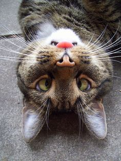 It kinda looks like its chin is an angry bunny. If you can't figure it out, the tongue of the cat is the nose of the bunny, the teeth are the eyes, and the cat's nose is the bunnies teeth.