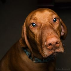 #Vizslas know how to work those baby eyes!