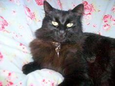 Chantilly / Tiffany Cat