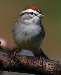 Spizella passerina Chipping sparrow 5/3/16 - at the window feeder & on the cherry tree on an overcast day