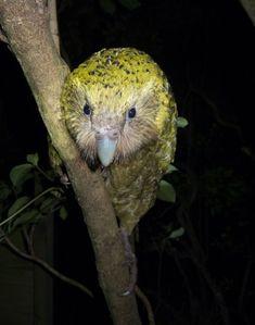 Flightless Parrot, Animals, Bird, Twitter, Animales, Animaux, Birds, Animal, Animais