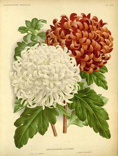113977 Chrysanthemum hort.  / L' Illustration horticole, vol. 34: t. 31 (1887)