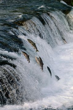 Migrating salmon swimming upstream to spawn, Katmai National Park, Southeast Alaska