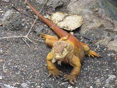 Iguana de tierra, Islas Galápagos, Ecuador. Es una especie de lagarto de la familia Iguanidae, y una de las tres especies del género Conolophus. Es endémica del Archipiélago de Galápagos.