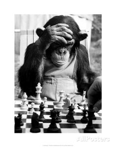 Stock Photo - The Champion Chimps. Pepe, the chess champion of Chimp Town, gets in some serious practice before this year's big games. Black White Photos, Black And White Photography, Chess Strategies, Funny Animals, Cute Animals, Photocollage, Stavanger, Tier Fotos, Belle Photo