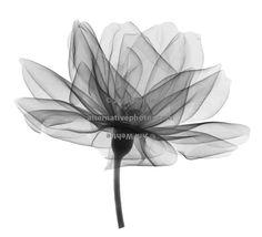 rose-blossom-side-view-black-on-white.jpg (650×592)