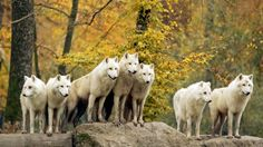 white,Canadian wolfs