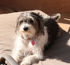Italian Tzu     Italian Greyhound / Shih Tzu Hybrid Dogs
