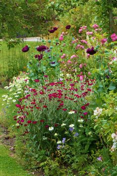 Lychnis coronaria, Papaver in the reseeded border