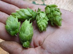 Fresh picked, local organic hops for Offshore Ale's Hopps Farm Road http://pointbrealty.com/marthas-vineyard-real-estate/?p=11214