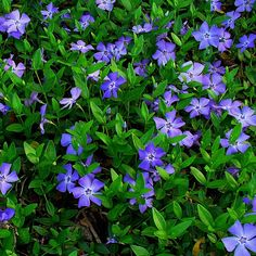 Vinca minor has pretty purpley-blue flowers up to 2cm in circumference, and oval, dark green glossy evergreen leaves, growing on upright stems. Description from ebay.co.uk. I searched for this on bing.com/images