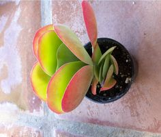 Succulent Plant - FlapJack Luciae Kalanchoe
