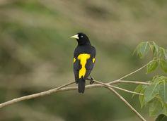 Yellow rumped cacique. - Yellow rumped cacique in the Pantanal.
