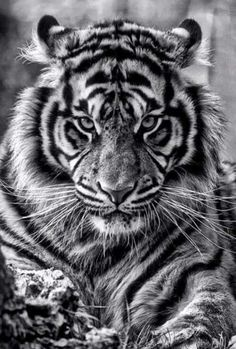 #tiger #endangeredspecies