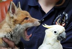 My what big teeth you've got: The eight-month-old fox cub eyes up Smokey the…