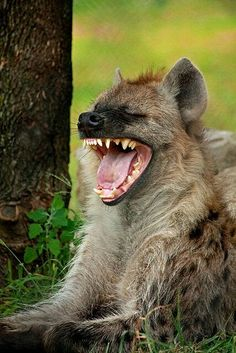 """She laughed. It wasn't a pleasant laughter. There's nothing skinnier, meaner and obscener as Hyena."""" - this reminded me of someone, she totally looks like Hyena. Mundo Animal, Beautiful Creatures, Animals Beautiful, Funny Animals, Cute Animals, Baby Animals, Wild Dogs, Tier Fotos, Animal Kingdom"""