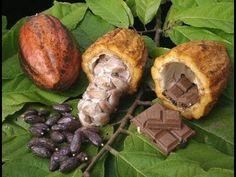 Chocolate Tree - Theobroma cacao - Pot - Fruit of the Gods Theobroma Cacao, Chocolate Tree, Cacao Chocolate, Cacao Fruit, Cacao Beans, Fruit Seeds, Cacao Nibs, Cocoa Butter, Peru