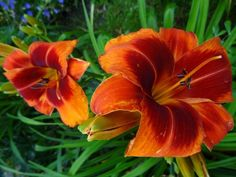Photo of Daylily (Hemerocallis 'Outrageous') uploaded by Orsola
