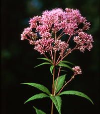 Eupatorium purpureum - Joe Pye Weed Native, full-med sun, moist. Large round heads of vanilla-scented, rosy pink flowers bloom in late summer. Butterflies flock to the flowers. Whorled leaves scale tall sturdy stems making the plant attractive in the landscape even when it is not blooming.
