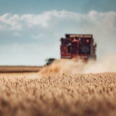 'Combine harvester agriculture machine harvesting golden ripe whe' on Picfair.com