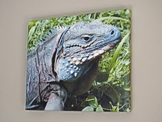 """Cayman Blue Iguana 10 x 12 Canvas. This 10"""" x 12"""" handmade canvas print is of the rare, endangered Grand Cayman Blue Iguana. This beautiful species is critically endangered and is only native to one tiny island in the Caribbean- Grand Cayman. A captive breeding and release program has brought the species back from the brink of extinction. Enjoy the natural blue color of this beautiful creature in your home or office and use it as a conversation piece to tell people about one of the rarest..."""