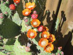 Opuntia tomentosa (Velvet Tree Pear) #opuntia #succulentopedia #cactus #CactiAndSucculents #cacti #SucculentPlant #SucculentPlants #CactusCollection #CactusGarden #BloomingCactus #CactusFlower #CactusFlowers Cacti And Succulents, Planting Succulents, Desert Cactus, Desert Plants, Potting Soil, Cactus Flower, Beautiful Gardens, Floral Arrangements, Pear