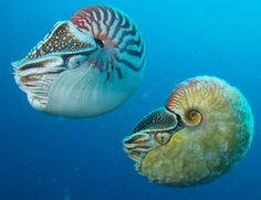 'This Could Be The Rarest Animal In The World'  Extremely rare Allonautilus scrobiculatus (right) (not seen for 31 years)  swimming next to a Nautilus pompilius (left) off of Ndrova Island in Papua New Guinea. Credit: Peter Ward.