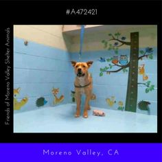 BECOMES URGENT & AT RISK AFTER APRIL 26th  HARLEY #A472421 (Moreno Valley CA) Male yellow and white Labrador Retriever mix. The shelter thinks I am about 1 year. I have been at the shelter since Apr 18 2017 and I may be available for adoption on Apr 26 2017 at 10:00AM.  http://ift.tt/2otJ3y0  Moreno Valley Animal Shelter at (951) 413-3790 Ask for information about animal ID number A472421 #Adoptdontshop #Adoptdontshopcalifornia #morenovalley #californiashelterdogs #dogsofinstagram…