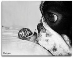 Boston Terrier and a snail