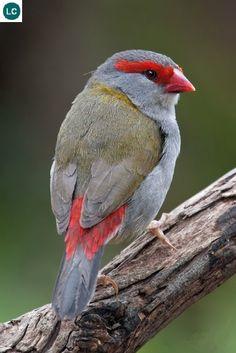 https://www.facebook.com/WonderBirds-171150349611448/ Sẻ thông mày đỏ; Họ chim Di-Estrildidae; dọc bờ biển phía đông Úc || Red-browed finch/Red-browed firetail (Neochmia temporalis) IUCN Red List of Threatened Species 3.1 : Least Concern (LC)(Loài ít quan tâm)
