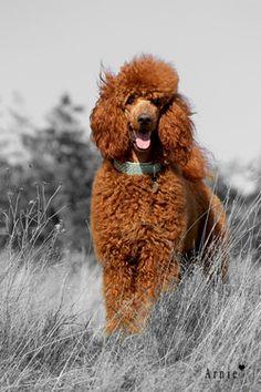 Standard Apricot #Poodle #Puppy #Dog #Poodles #Dogs