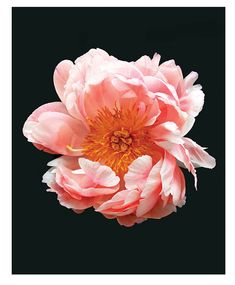 A pink peony on a black background.      Printed on heavyweight stock epson enhanced paper.    Printed with a 0.5 white border all around for care and