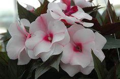 100 Impatiens New Guinea Divine White Blush Live Plants Plugs Patio Home 117 Garden Seeds, Planting Seeds, Planting Flowers, Full Sun Plants, Live Plants, Home Garden Plants, Home And Garden, Flower Seeds, Flower Pots