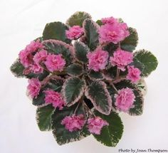 African Violet Society of America | Pink Pizazz (H. Pittman) Semidouble vivid pink frilled. Variegated green, white and pink, glossy, wavy. Semiminiature (DAVS 1392, TX Hyb)