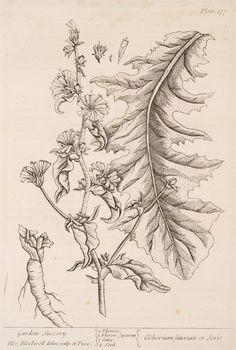 Garden succory.  [Cichorium sativum or seris.] (1739)