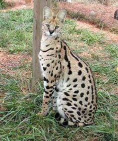 savanna cat