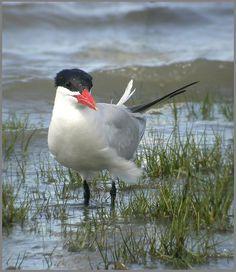Caspian Tern, Cairns, Queensland 2005