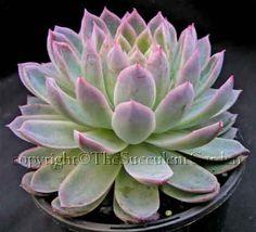 Echeveria 'Violet Queen'