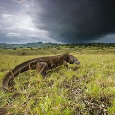 Photograph by @stefanounterthiner.  Storm clouds darken the Rinca sky during the wet season, from December to March. The months of rain are enough to sustain forests that provide a home to dragon prey. This elderly lizard is probably growing too weak to hunt.  Photograph from my @natgeo magazine story 'Once Upon a Dragon'. Follow me @stefanounterthiner to see more images from my personal projects and my work with @natgeo. Thank you!  #dragon #assignment #home #sky #cloud #storm